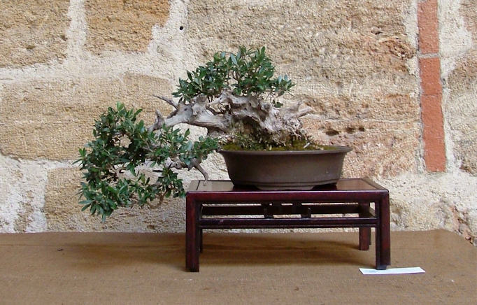 Mostra bonsai Club Palermo Immagi22