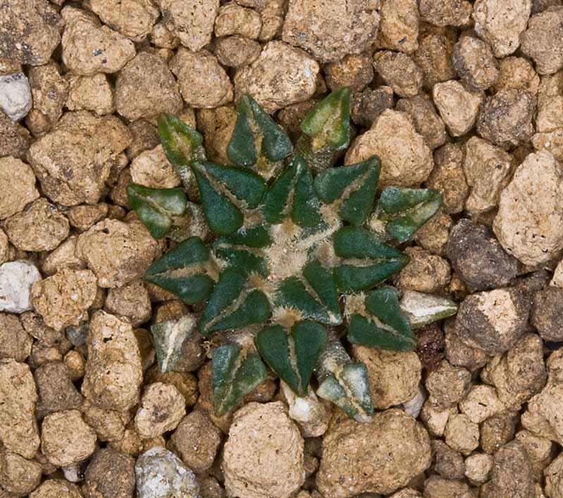 Ariocarpus kotschoubeyanus var. albiflorus Arioca11