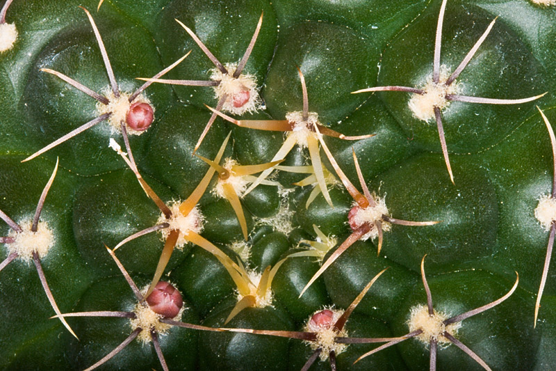 Gymnocalycium baldianum Gymno-17