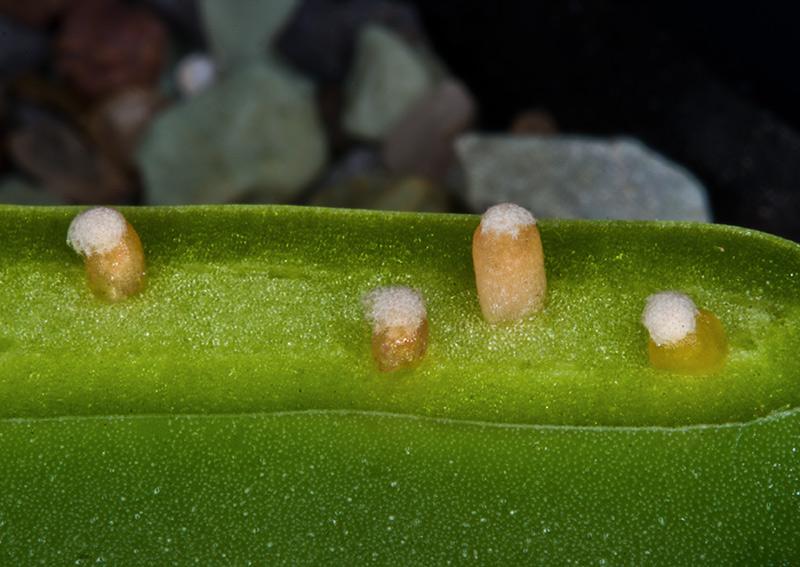 Mammillaria luethyi Luethy12