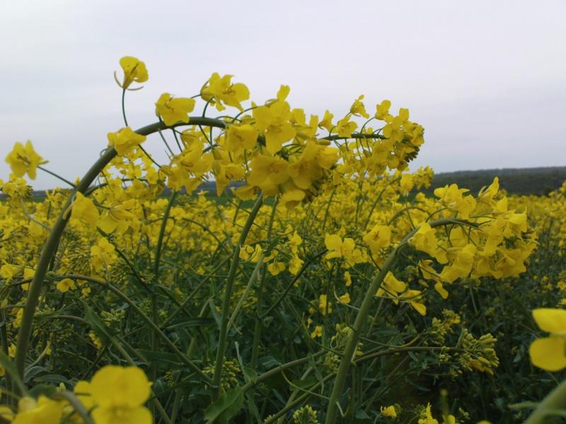 gel sur colza en fleur Dsc00311