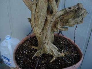 murraya paniculata        mock orange Dsc07626