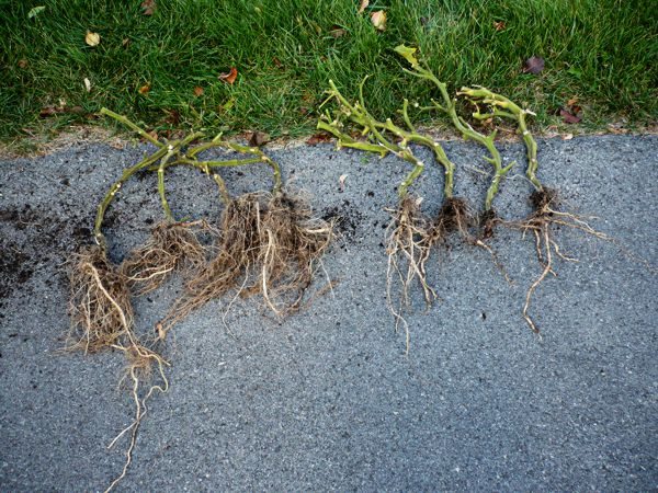 Tomato roots Materr10
