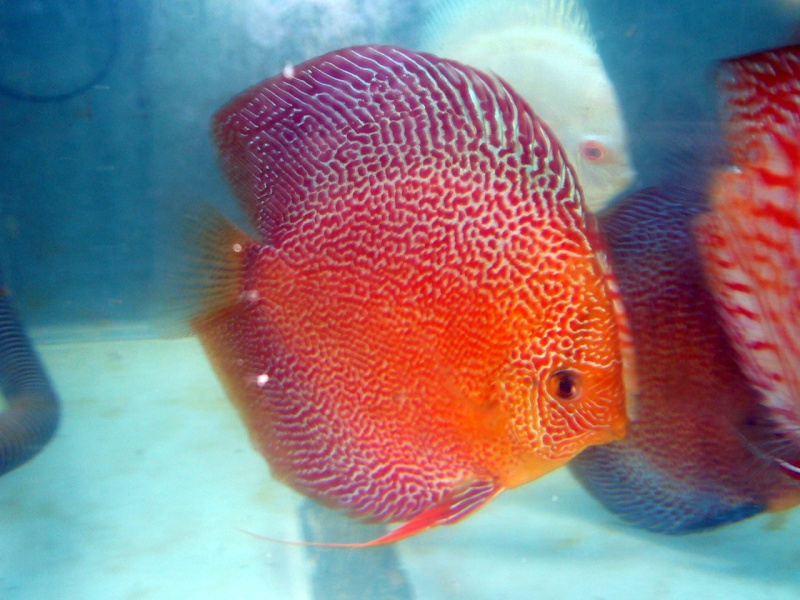What is your fav discus? - Page 2 Discus10