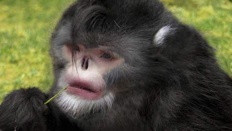 Une nouvelle espèce de singe au nez retroussé en Birmanie  Media_65