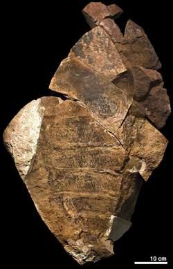 Le fossile d'une crevette géante découvert dans le désert Media_73