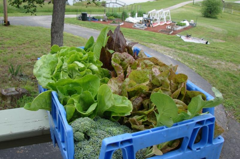 Types of lettuce... Dsc03620