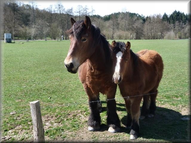 2 chevaux dans une prairie Anim0410