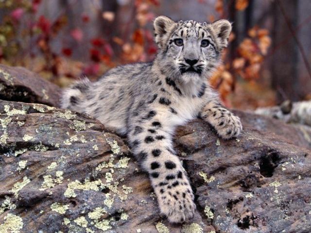 Wild Cat RolePlay Snow_l10