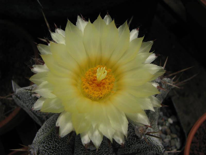 Quelque fleur du mois de mai Astrop11