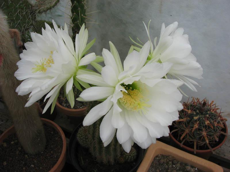 fleur du jour mise a jour le 7mai Cactus16