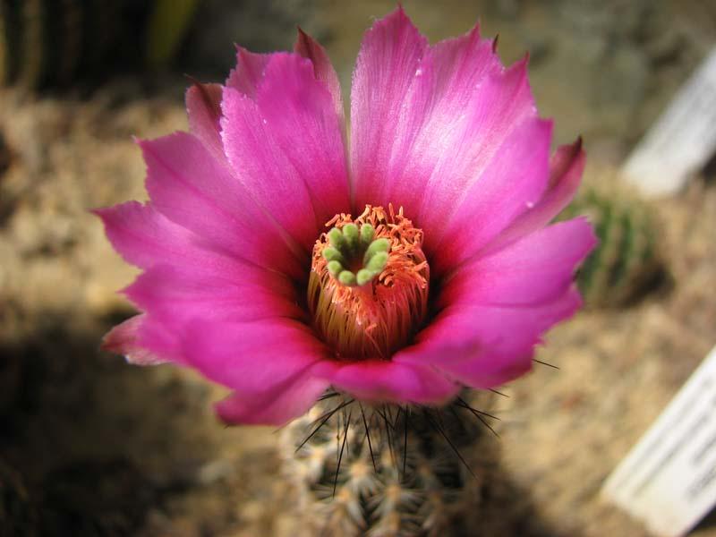 Quelque fleur du mois de mai Echino10