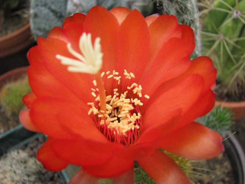 Quelque fleur du mois de mai Echino11