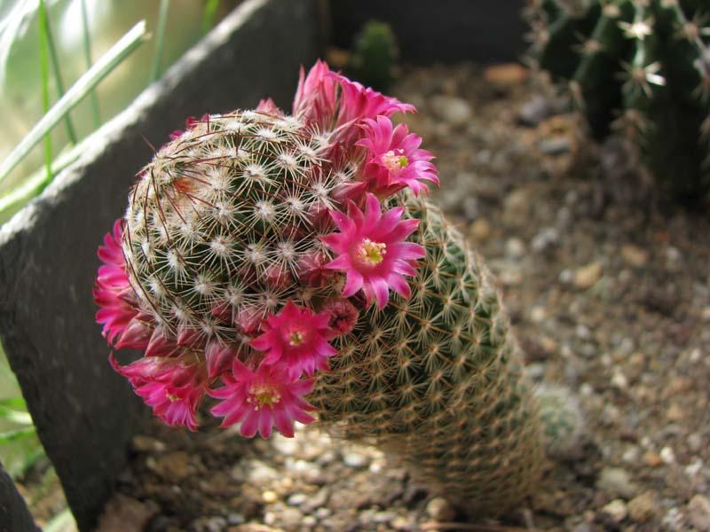 Quelque fleur du mois de mai Mammil10
