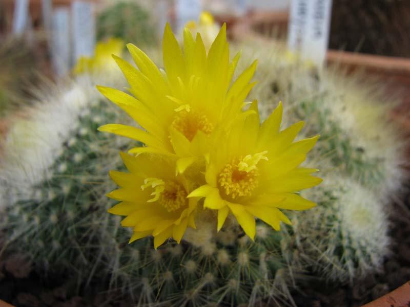 Quelque fleur du mois de mai Parodi10