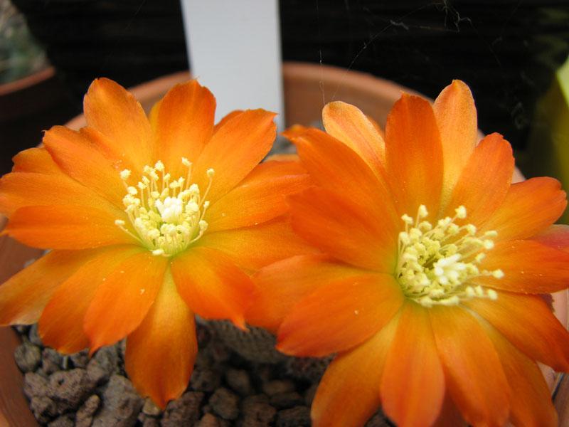 Quelque fleur du mois de mai Rebuti10