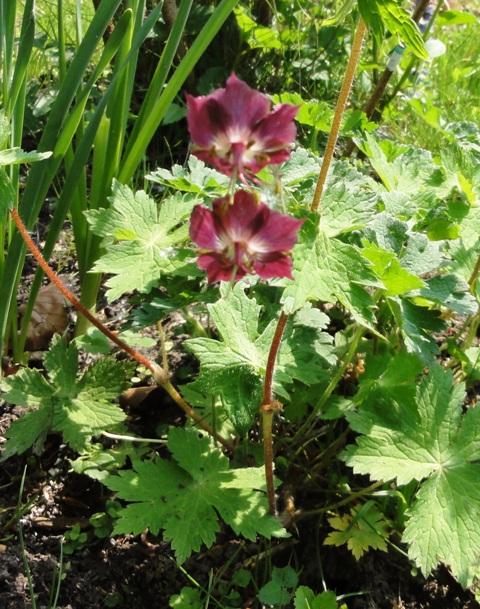 Des floraisons précoces cette années... 2011_069