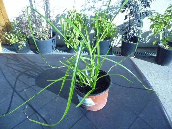 Cyperus  (semis) 25sept17