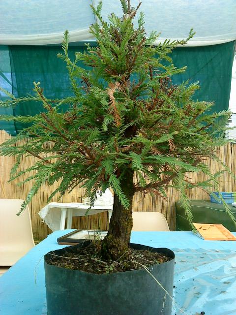 sequoia - Sequoia Sempervirens 00510