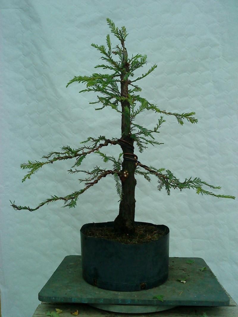 sequoia - Sequoia Sempervirens 02210