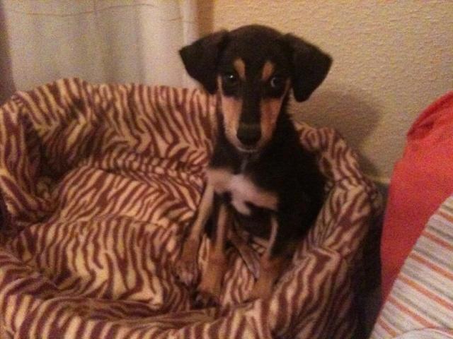 Lotus cachorrete de 4 meses busca hogar. Valencia. Lottus11
