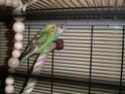 Mes ptites perruches Pa160112