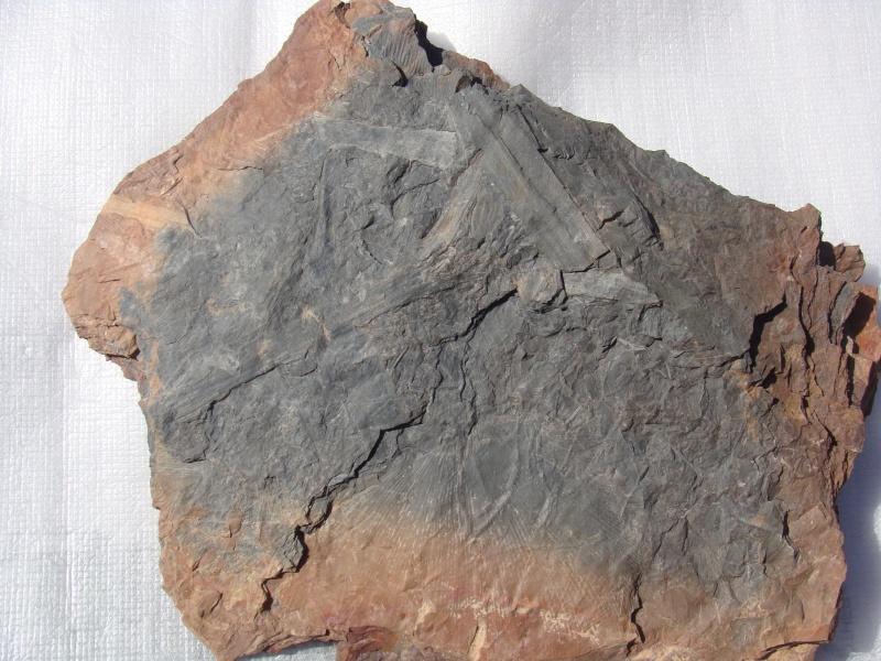 Neuropteris ovata Hoffmann . Cyclopteris Brongniart , 1830.  Dsc02310