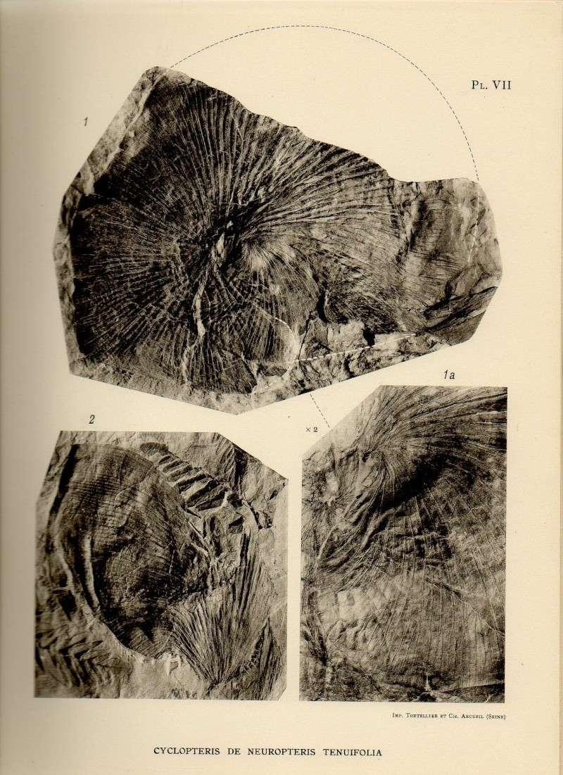 Neuropteris ovata Hoffmann . Cyclopteris Brongniart , 1830.  Neuro010