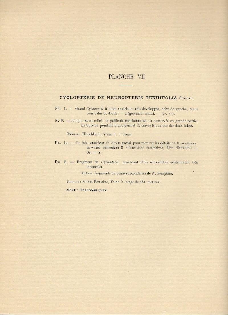 Neuropteris ovata Hoffmann . Cyclopteris Brongniart , 1830.  Neuro011
