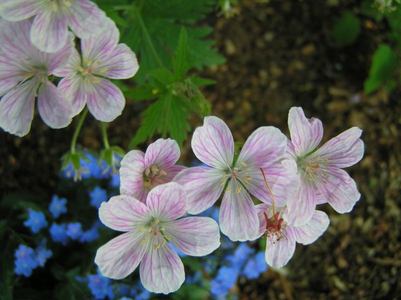 Des floraisons précoces cette années... Pict0042