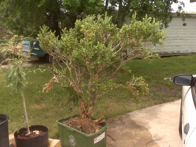 Large, old rescued landscape boxwood.... Boxwoo10
