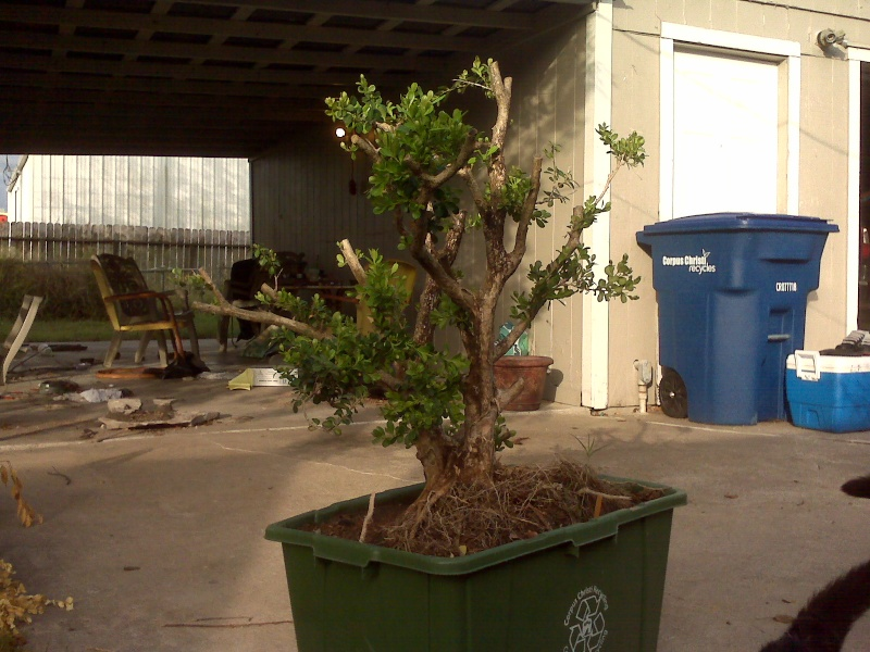 Large, old rescued landscape boxwood.... Boxwoo12