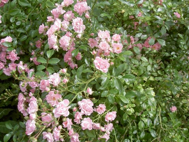 le royaume des rosiers...Vive la Rose ! - Page 2 Pict5927