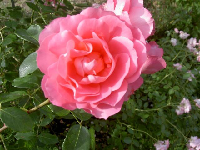 le royaume des rosiers...Vive la Rose ! - Page 2 Sil10
