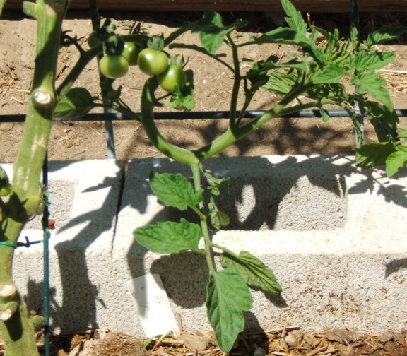 Tomato growth patterns. Oddtom10