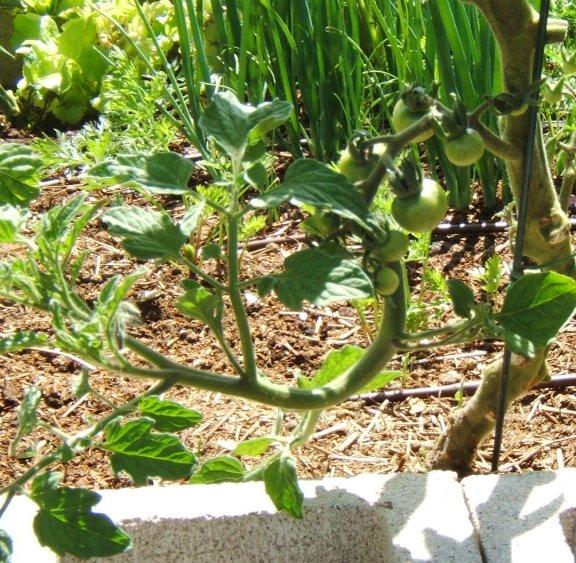 Tomato growth patterns. Oddtom11