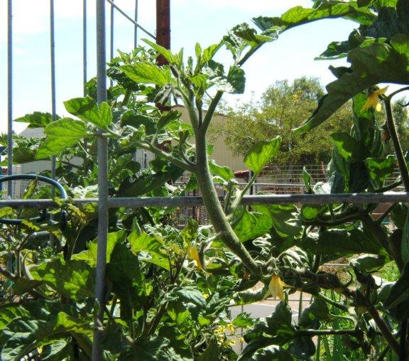 Tomato growth patterns. Oddtom12