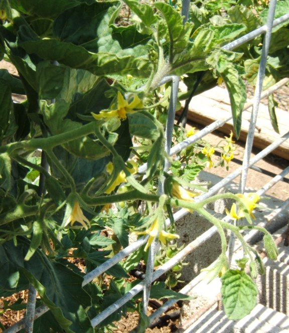 Tomato growth patterns. Oddtom13