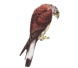 Aves Rapaces  Autóctonos en general