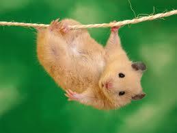 hamster culture Hamste13