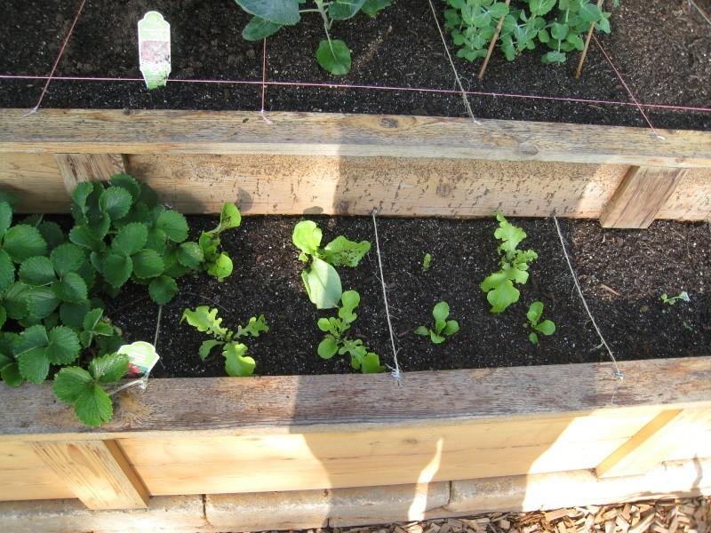 Planting Lettuce Seeds Img_4422