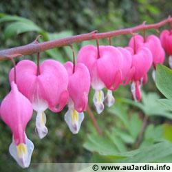 plantes décoratives faciles ( Coeur de Marie ou de Jeannette , dicentra ...) Dicent10