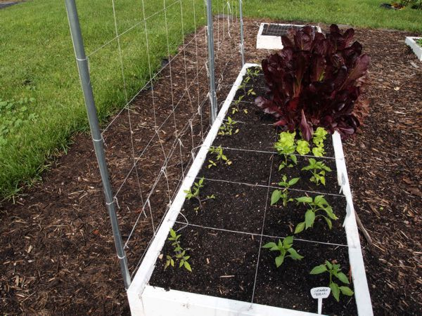 Tomato Tuesday/Upper South region 6wv63_10