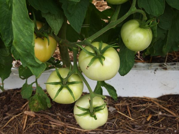 Tomato growth patterns. Blosso11