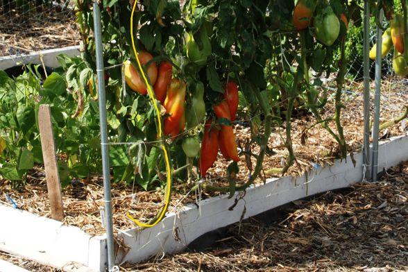 vine tomatoes Opalka11