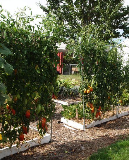 vine tomatoes Opalka12