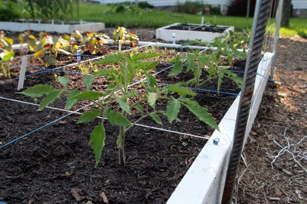 Tomato Tuesday/Upper South region Opalka13