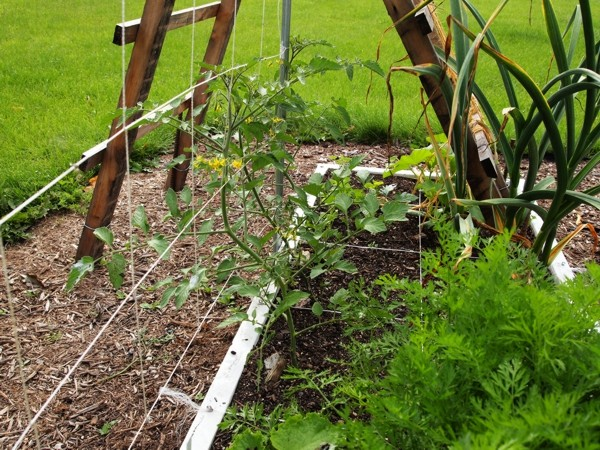 Tomato Tuesday/Upper South region Wk24xg10