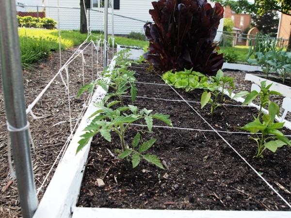 Tomato Tuesday/Upper South region Wv63-010