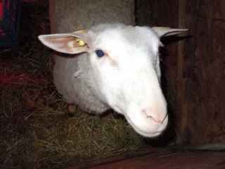 première agnelage ( photos des agneaux ) Dscn0510